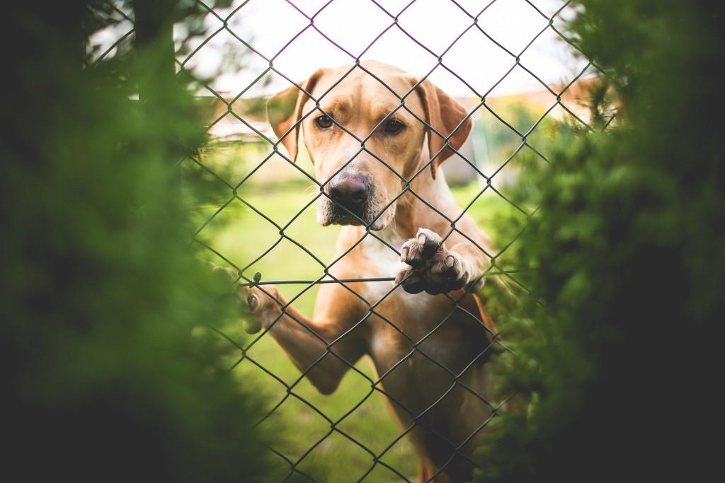 Dog behind fence (Photo via PicJumbo) low res